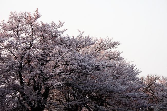 桜12.JPG