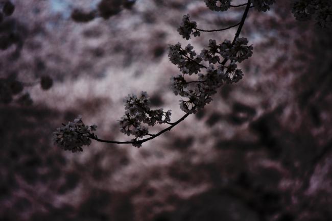 桜06.JPG
