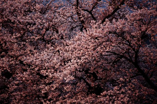 桜09.JPG