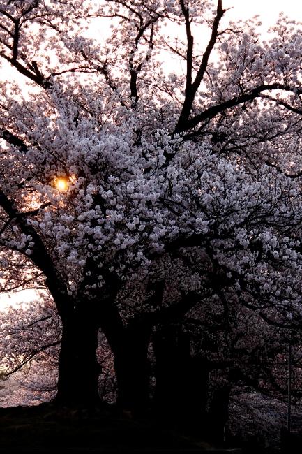 桜16.JPG