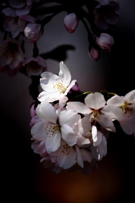桜17.JPG